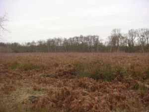 Purple haze over the new woodland at Brookhay Wood