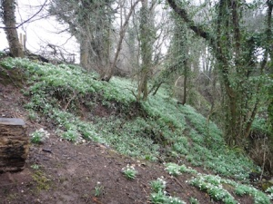 Lots of lovely wild garlic in the dingle at this time of year