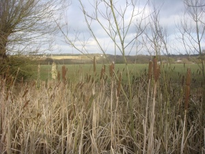 Bullrushes on the IQ walk