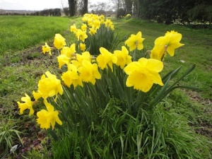 Beautiful daffodils seen near to one of the cache