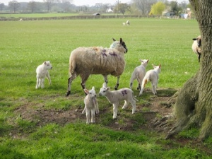 Newly born lambs near to a cache