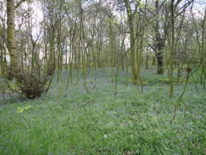 The lovely (and unexpected!) bluebell glade