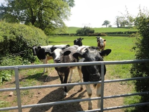 Friendly cows on the Tetchill Tour