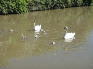 A family of swans on the canal