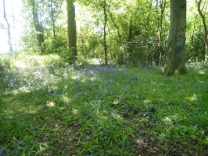 Bluebell woods towards the end of the Barnacle Bimble