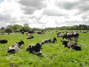 Sitting cows - isn't that supposed to mean it's going to rain? Thankfully the cows had got it wrong and it was sunny all day!