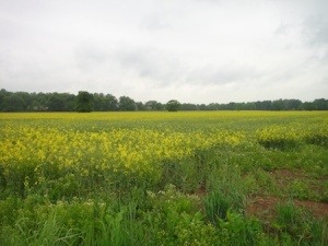 Views over the rapeseed crop while walking to snerdbe's Old Park caches