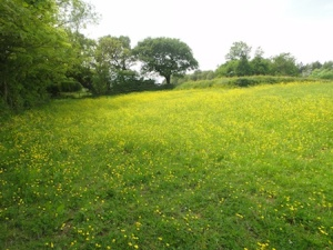 An almost yellow field with hundreds of buttercups