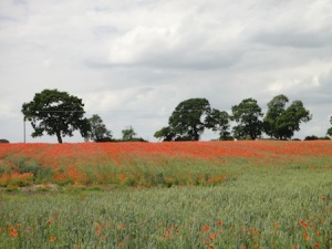 A lovely field of poppies near to one of the caches