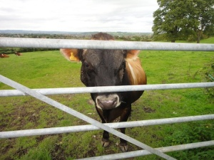 A friendly cow watches me sign the logbook