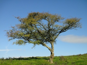 Lone tree at the high point in the SMW walk